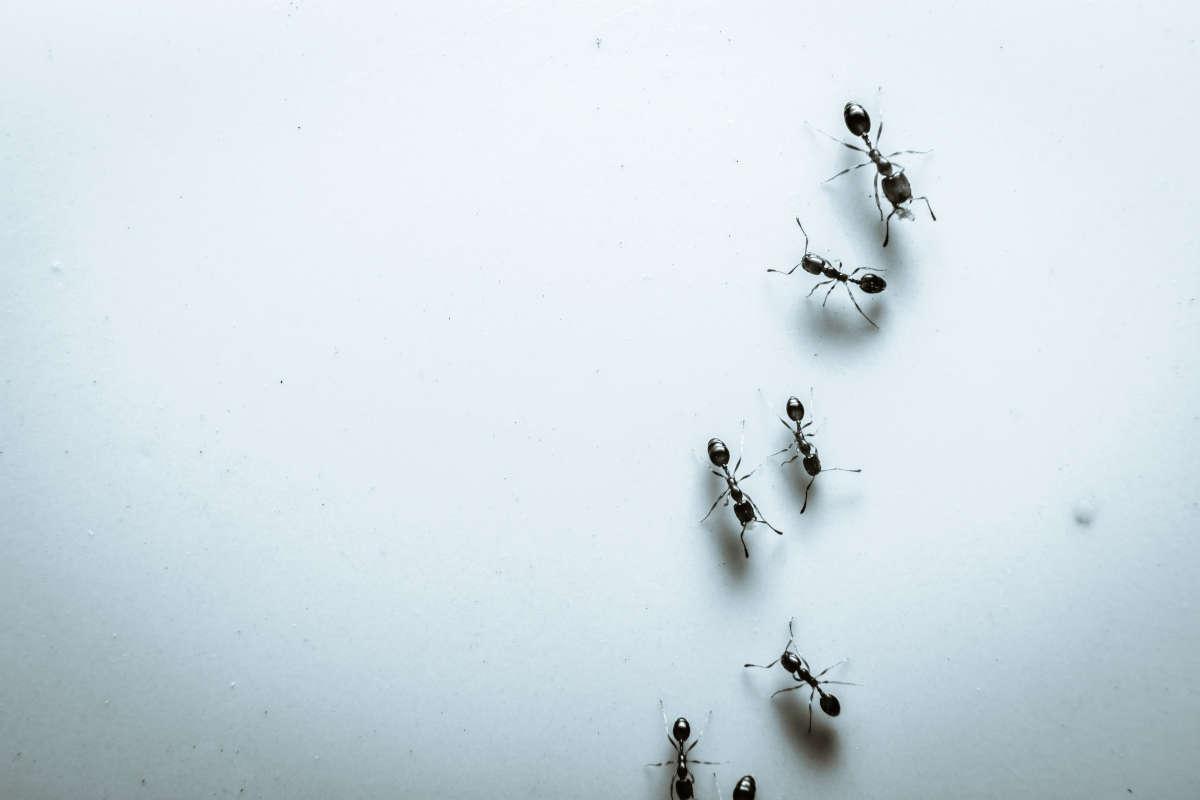 trappola formiche
